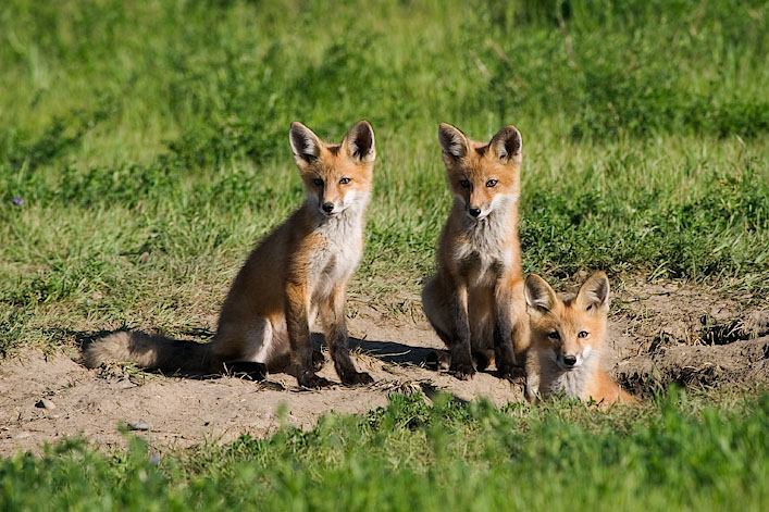 Rylee Isitt Photography - Three Red Foxes
