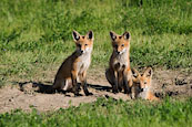 Three Red Foxes